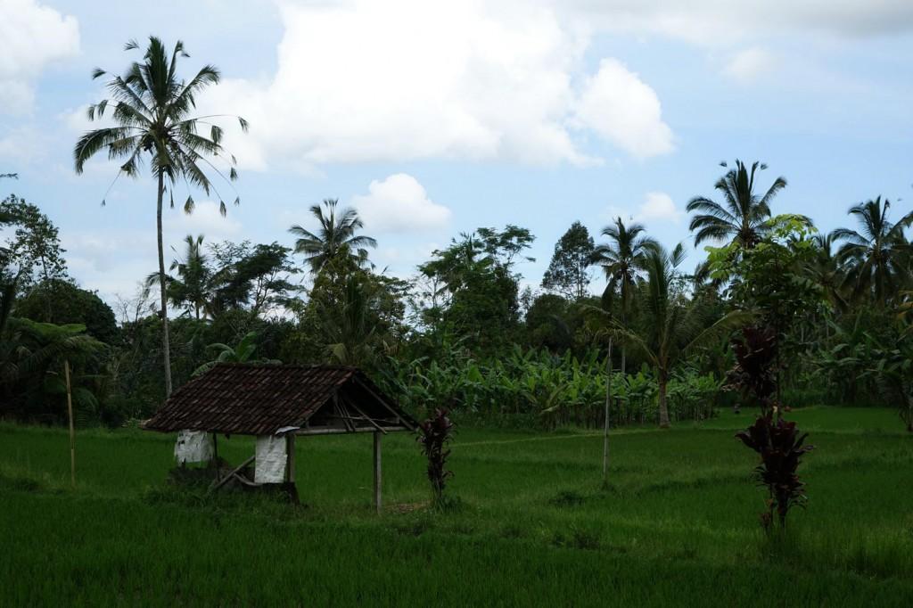 Campagne d'ubud Bali Indonésie