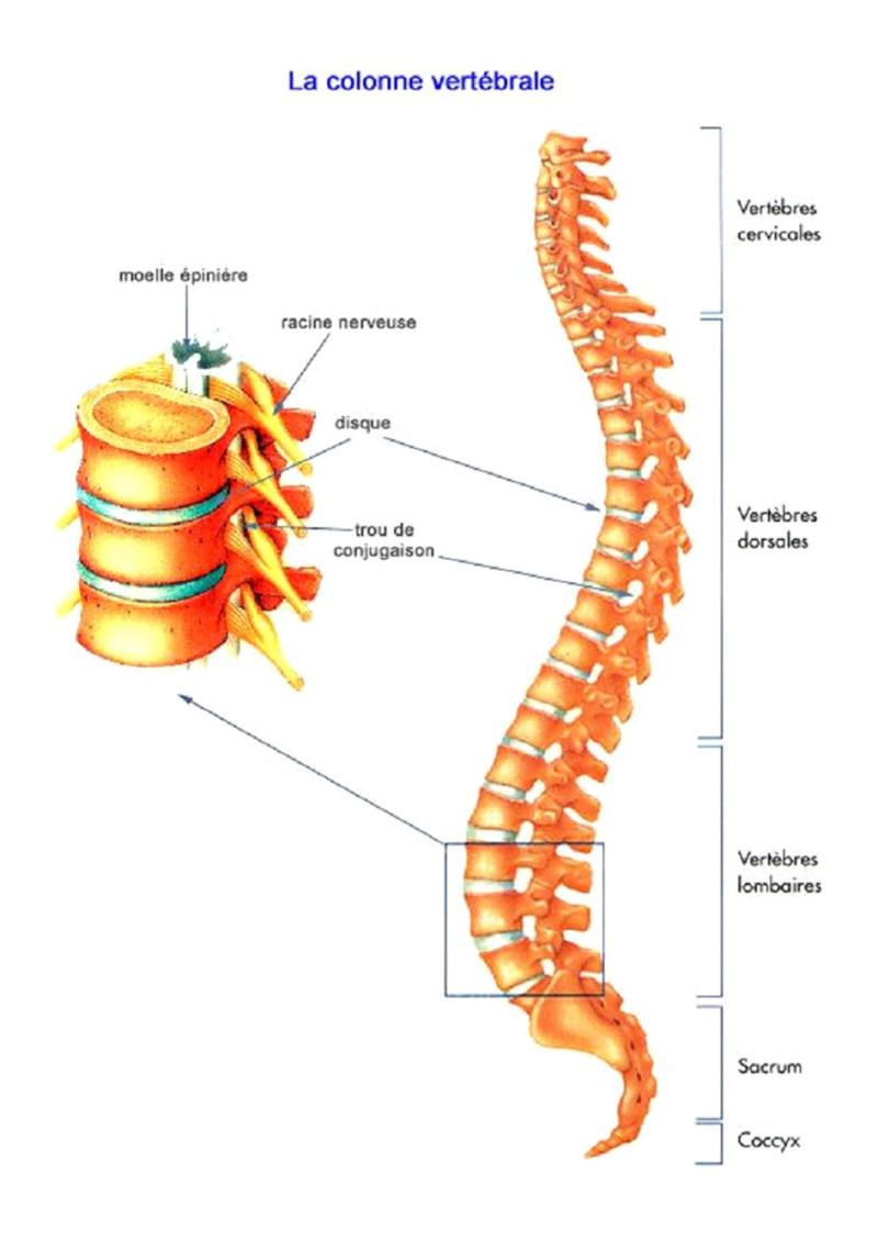 constitution de la colonne vertébrale