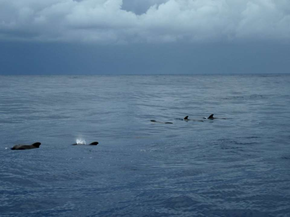 dauphins bateau madère