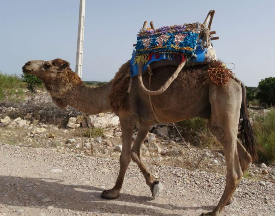 dromadaire maroc taxi voyage