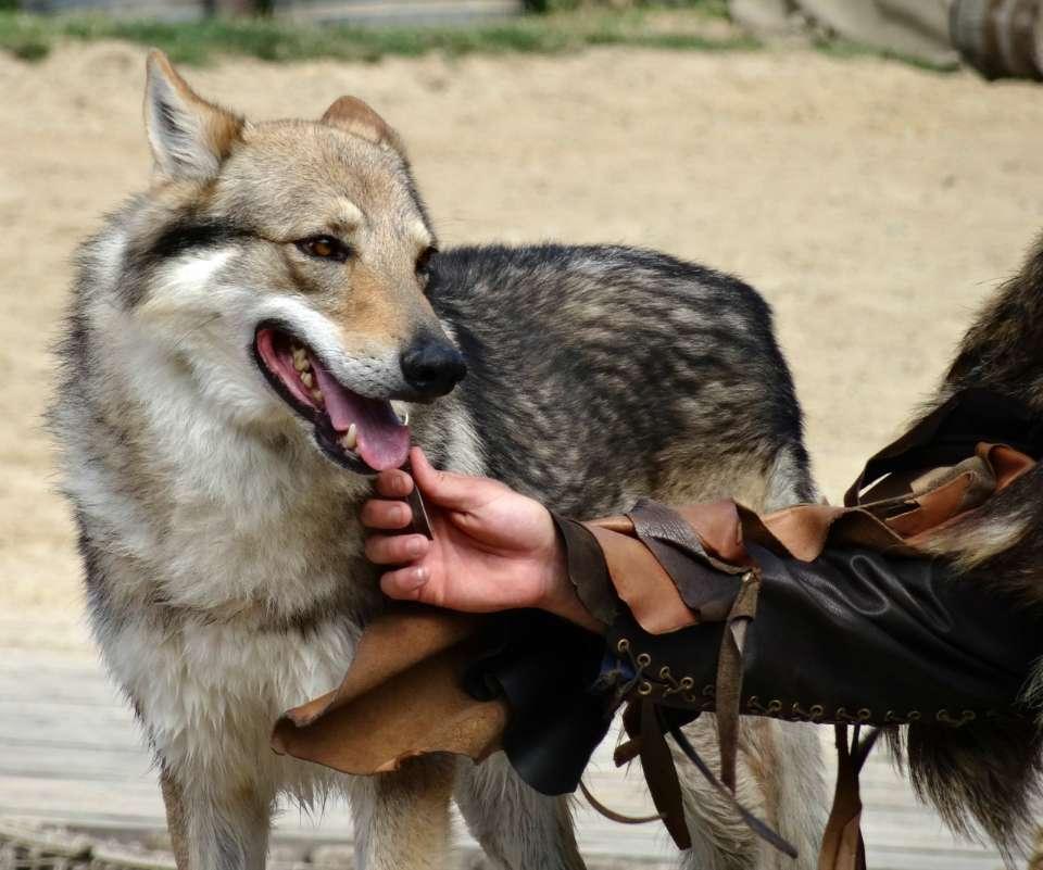 loup puy du fou